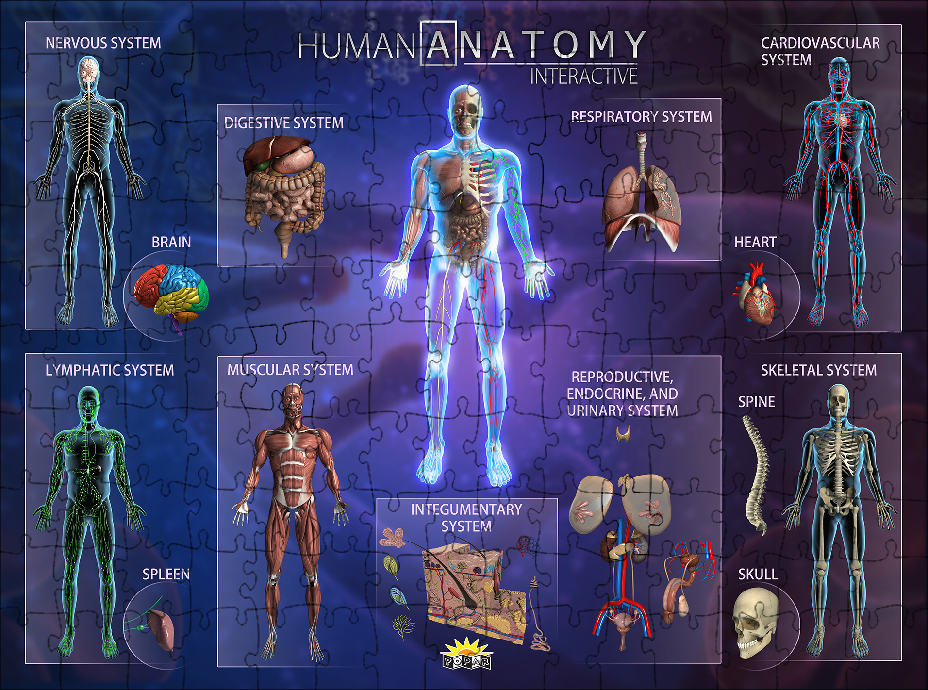 Human Anatomy Interactive Smart Puzzle